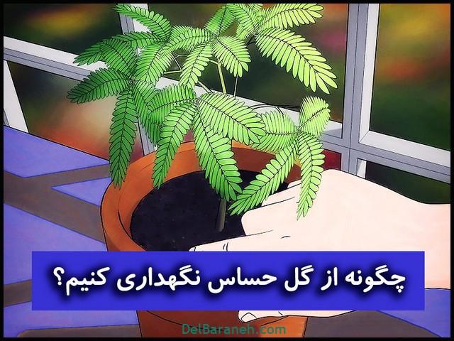 تصویر از چگونه از گل حساس (گل قهر و آشتی) در خانه نگهداری کنیم ؟؟