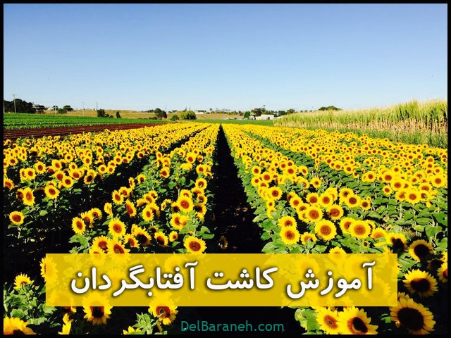 تصویر از کاشت گل آفتابگردان