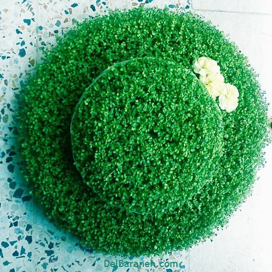 سبزه عید با خاکشیر (۶)