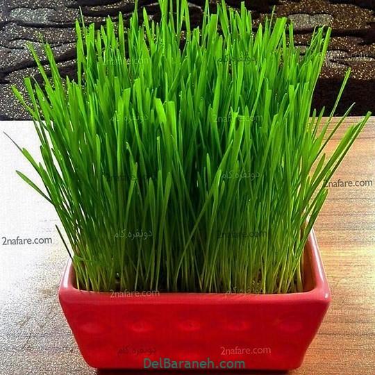سبزه عید با گندم (۵)