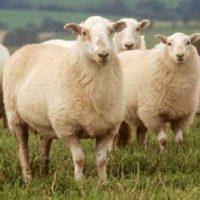 گوسفند زنده را با چند کلیک سفارش دهید