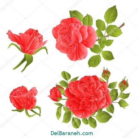 گل گلی (۵۰)