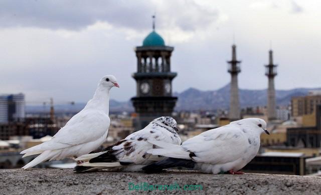 عکس کبوتر حرم امام هشتم