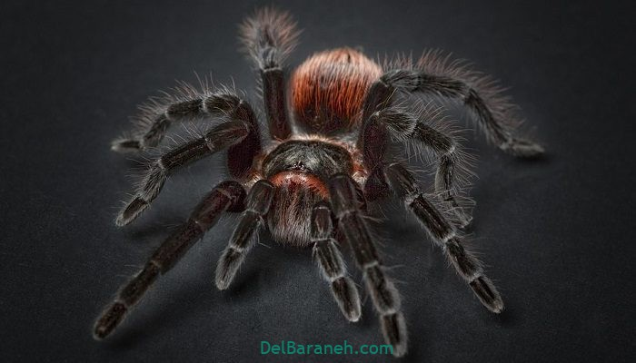 تعبیر خواب عنکبوت بزرگ به روایت آنلی بیتون