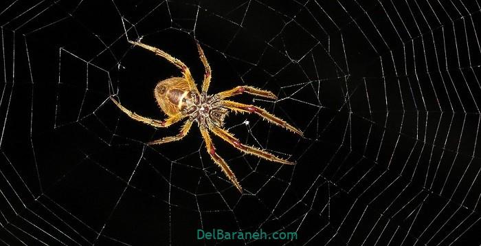 دیدن خواب عنکبوت به روایت ابن سیرین