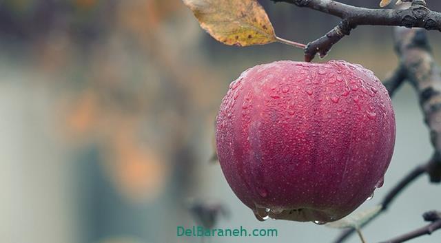 تعبیر خواب چیدن سیب از درخت
