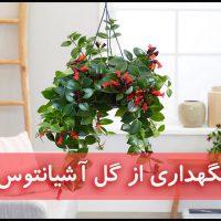 گل آشیانتوس | نگهدرای از گل آشینانتوس (آبیاری،نور،خاک،کود،دما)