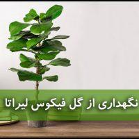 فیکوس لیراتا | نگهداری از گل فیکوس لیراتا (آبیاری،نور،خاک،کود،دما)