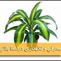 دراسنا بلالی | نگهداری گل دراسنا بلالی (آبیاری،نور،خاک،کود،دما)