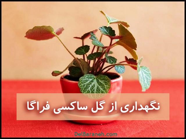نگهداری از گل ساکسی فراگا