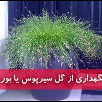 گل سیرپوس | نگهداری از سیرپوس یا بورایا (آبیاری،نور،خاک،کود،دما)