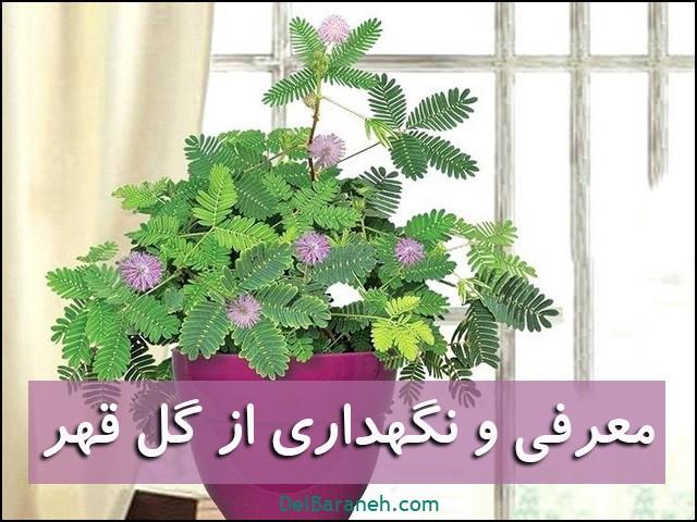 نگهداری از گل قهر