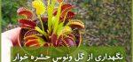 ونوس حشره خوار| نگهداری از گل ونوس (آبیاری،نور،خاک،کود،دما)