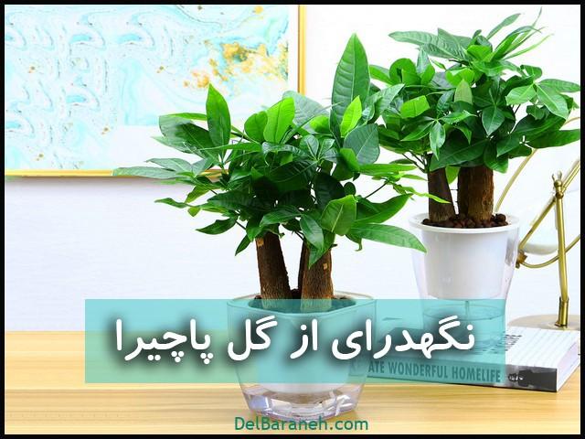 نگهداری از گل پاچیرا