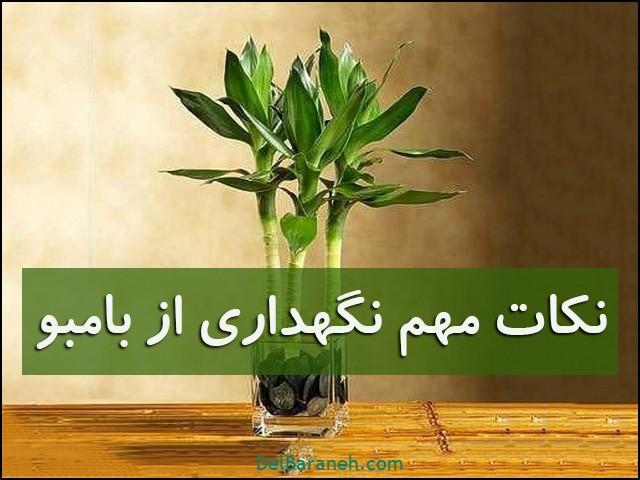 نگهداری از گیاه بامبو