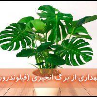 برگ انجیری | نگهداری از گل فیلودندرون (آبیاری،نور،خاک،کود،دما)