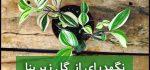 گل زبرینا | نگهداری از گل زبرینا (آبیاری،نور،خاک،کود،دما)