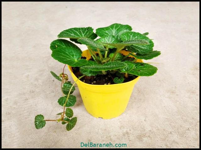 گل ساکسی فراگا (۲)