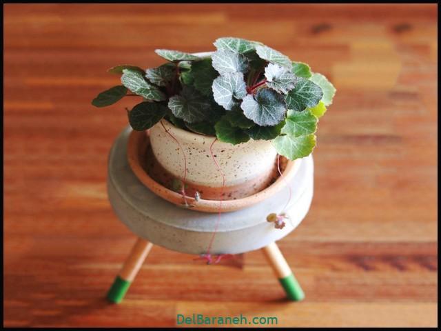 گل ساکسی فراگا (۳)
