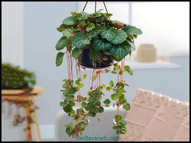 گل ساکسی فراگا (۴)