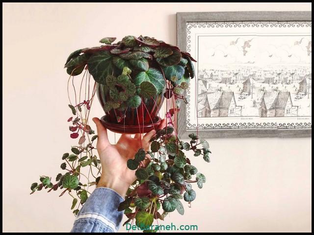 گل ساکسی فراگا (۷)