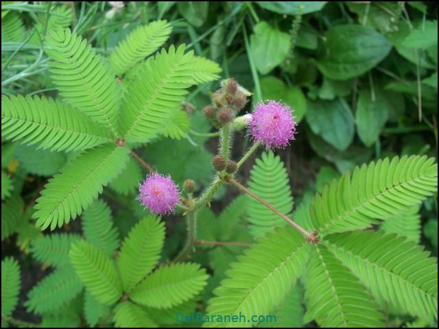 گل قهر (۷)