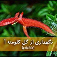 گل کلومنه آ | نگهداری از گیاه goldfish-ماهی قرمز (آبیاری،نور،خاک،کود،دما)