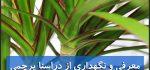 دراسنا پرچمی | نگهداری از گل دراسنا پرچمی (آبیاری،نور،خاک،کود،دما)
