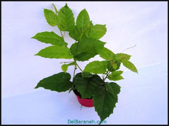 نگهداری از گل سیسوس (۳)
