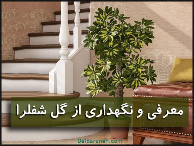 نگهداری از گل شفلرا (۱)