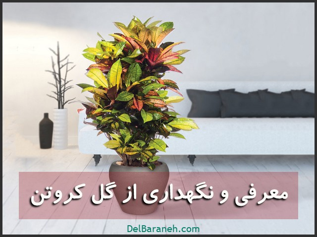 گل کروتون | معرفی و نگهداری از گل کروتون (آبیاری،نور،خاک،کود،دما)