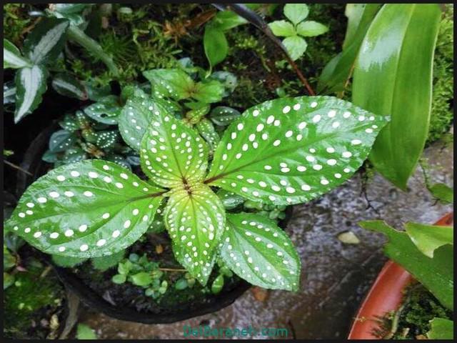 گل سونریلیا (۵)