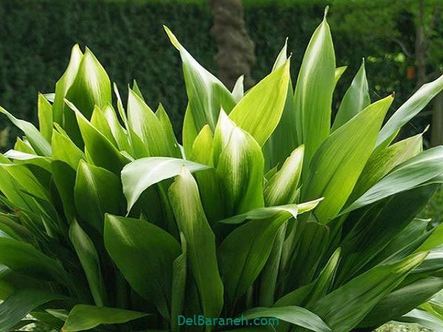 گل برگ عبایی