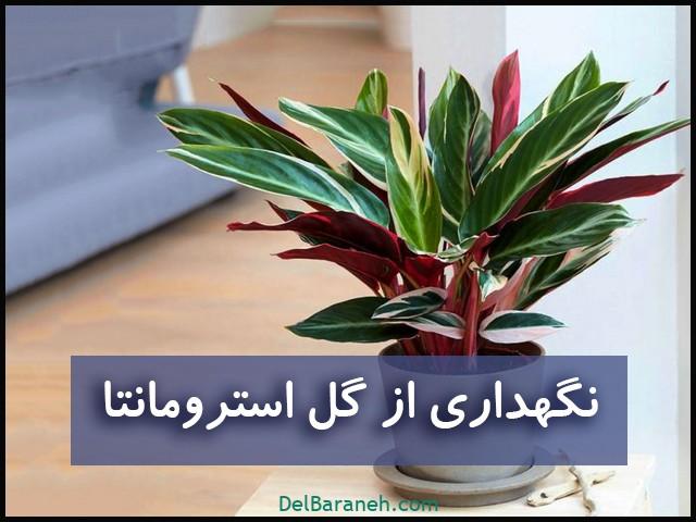 نگهداری از گل استرومانتا