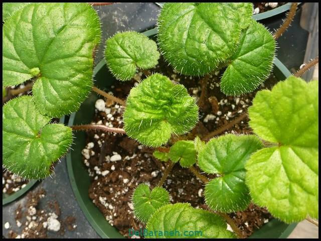 نگهداری از گل تولمئیا (۱)