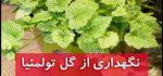 گل تولمئیا | نگهداری از گل تولمئیا (آبیاری،نور،خاک،کود،دما)