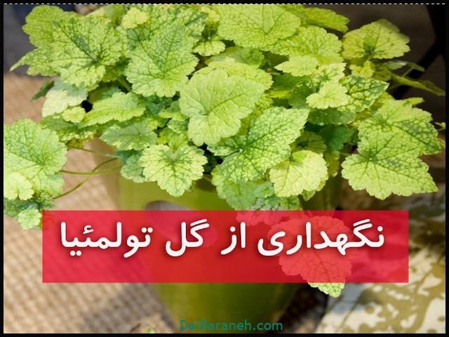 نگهداری از گل تولمئیا (۲)