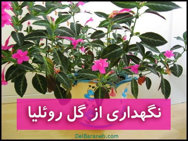 نگهداری از گل روئلیا
