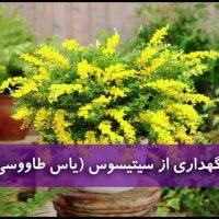 گل سیتیسوس |نگهداری از گل یاس طاووسی (آبیاری،نور،خاک،کود،دما)