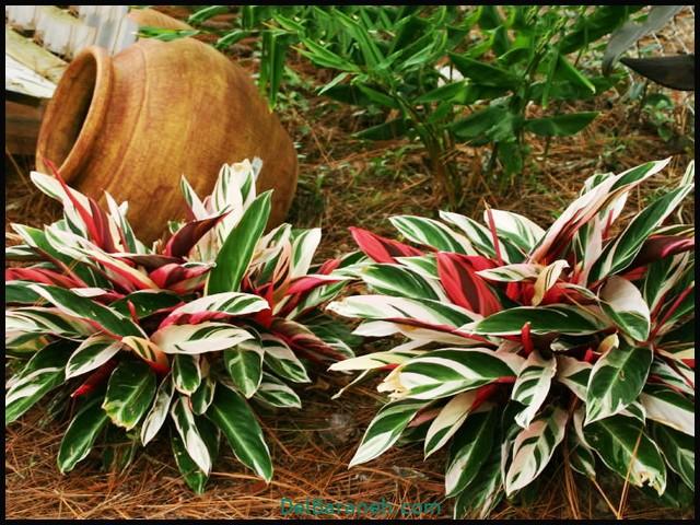 گل استرومانتا (۵)