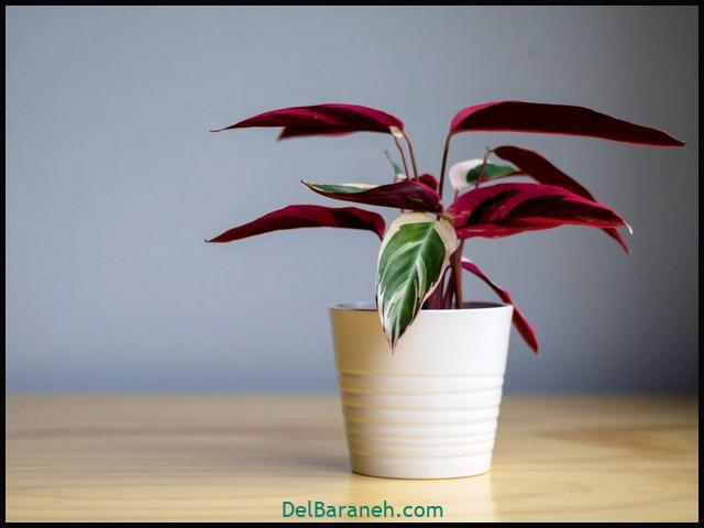 گل استرومانتا (۶)