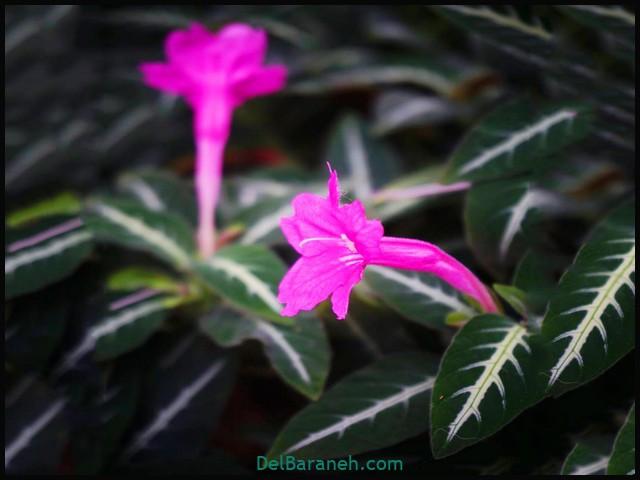 گل روئلیا (۵)