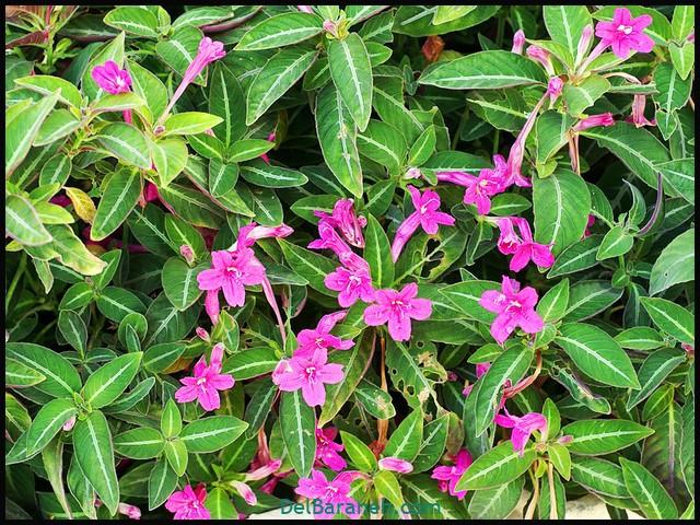گل روئلیا (۷)