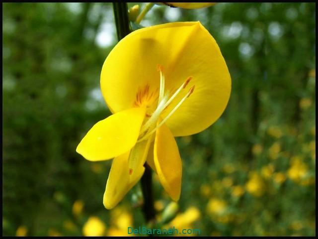 گل سیتیسوس (۱)