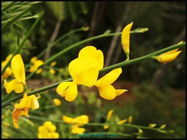 گل سیتیسوس (۴)