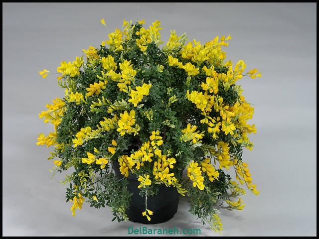 گل سیتیسوس (۵)