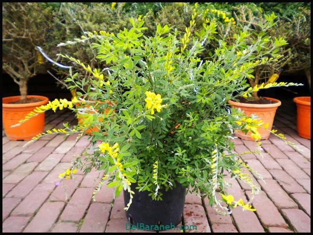 گل سیتیسوس (۶)