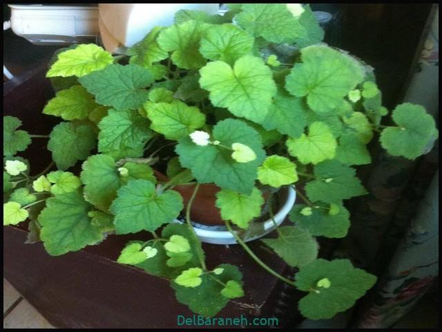 Piggyback-plant-