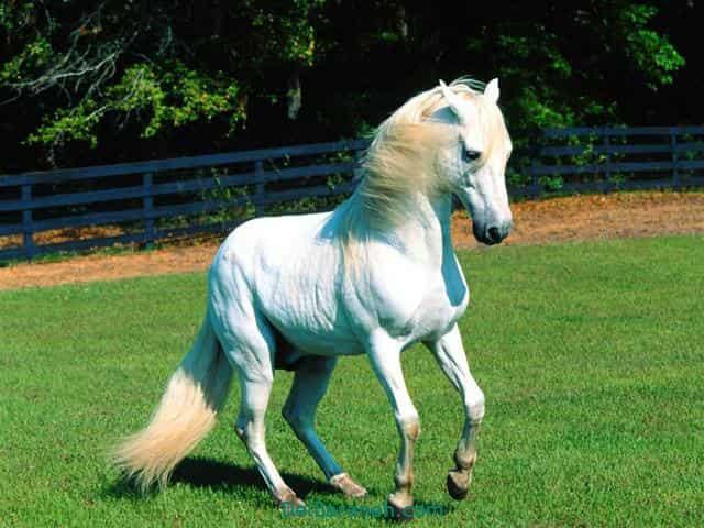 تعبیر خواب اسب سفید