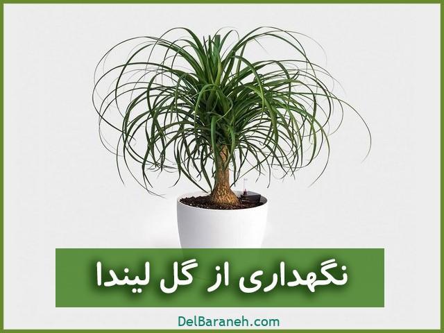 لیندا | نگهداری از گل لیندا (آبیاری،نور،خاک،کود،دما)